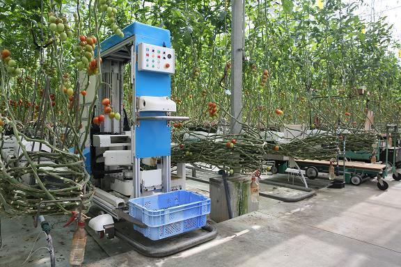 робот-собиратель помидоров