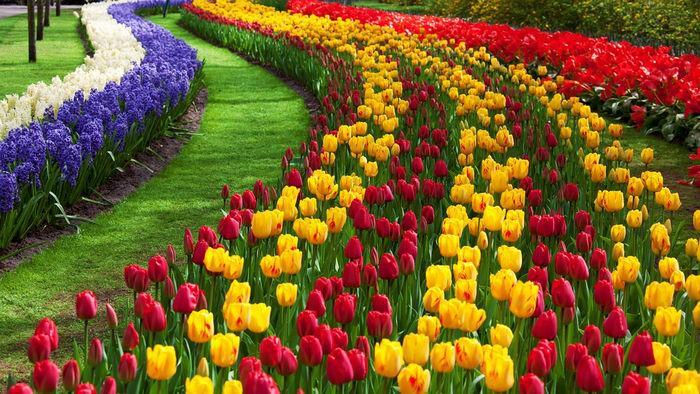 Нидерланды на майские: едем смотреть на тюльпаны