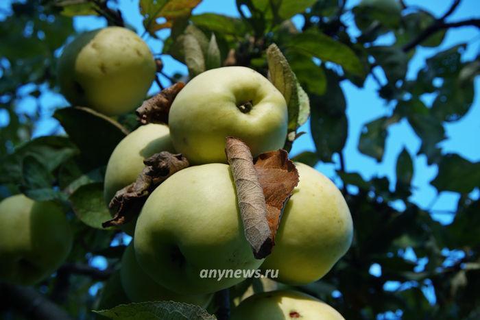 сушим яблоки