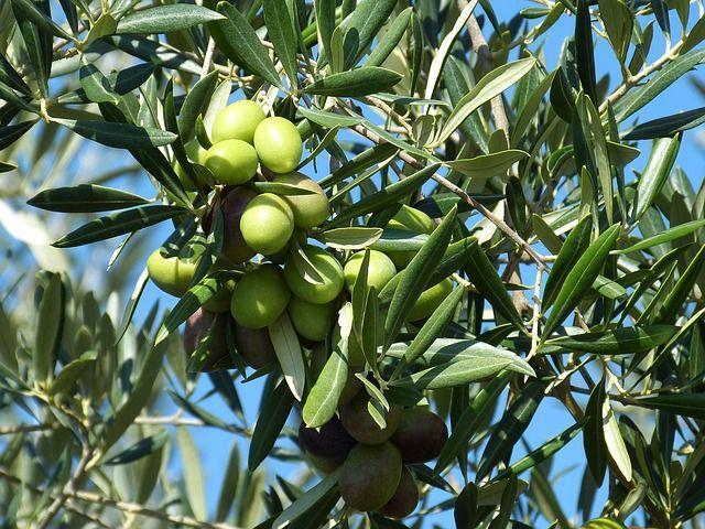 Оливки на дереве